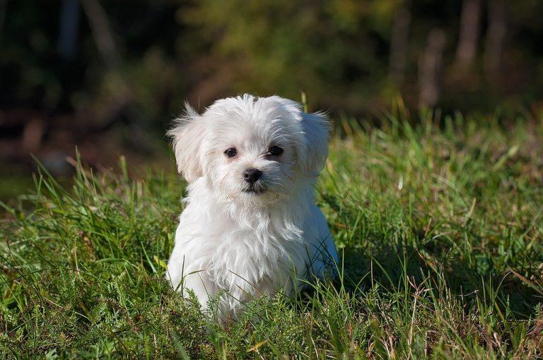 maltese, dog, puppy